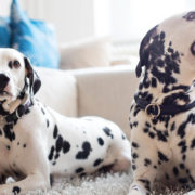 2 Dalmatian dogs relaxing in apartment