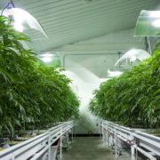 marijuana grown indoors-Drew Angerer Getty Images-592213296.jpg